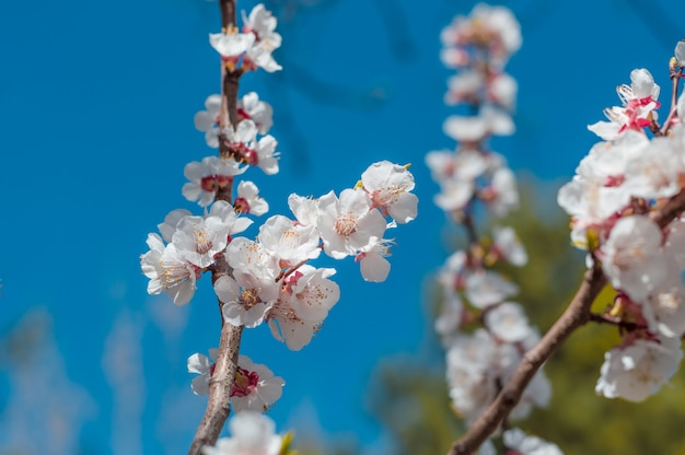 Beautiful cherry blossom sakura in spring over blue sky