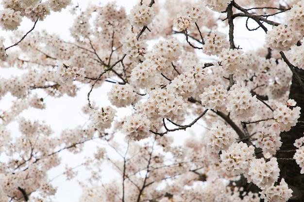 Beautiful cherry blossoms. sakura flowers in japan. travel spring time.
