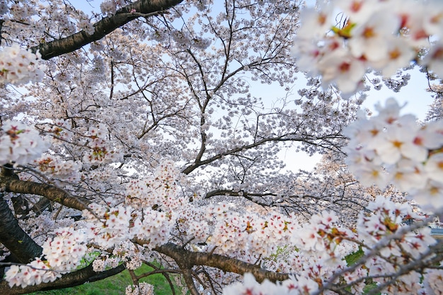 Beautiful cherry blossoms. sakura flowers in japan. travel spring time.