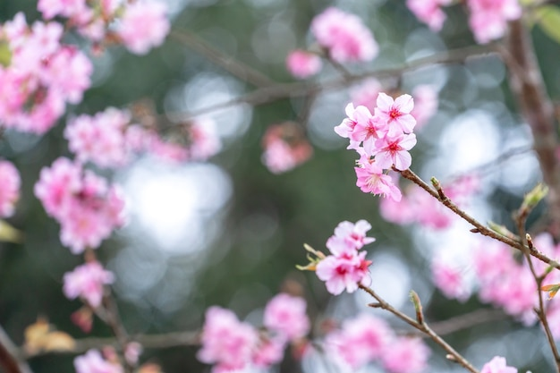 공원에서 봄에 아름 다운 벚꽃 사쿠라 나무 꽃, 복사 공간을 닫습니다.