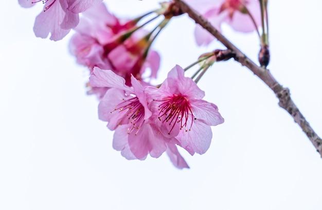흰색 배경, 복사 공간에 고립 된 봄에 아름 다운 벚꽃 사쿠라 나무 꽃을 닫습니다.