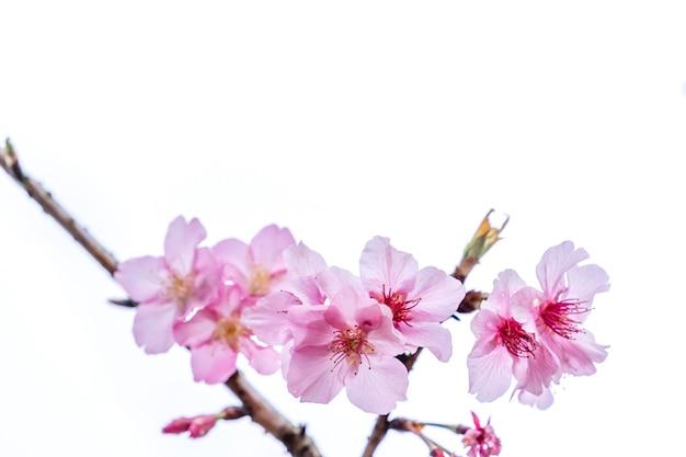 Красивое цветение вишни цветение дерева сакуры весной изолированное на белой предпосылке, космосе экземпляра, крупным планом.