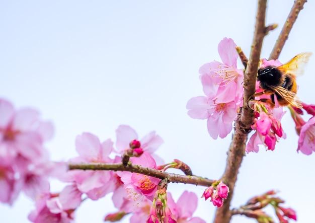 푸른 하늘, 복사 공간 위에 봄에 아름 다운 벚꽃 사쿠라 나무 꽃을 닫습니다.