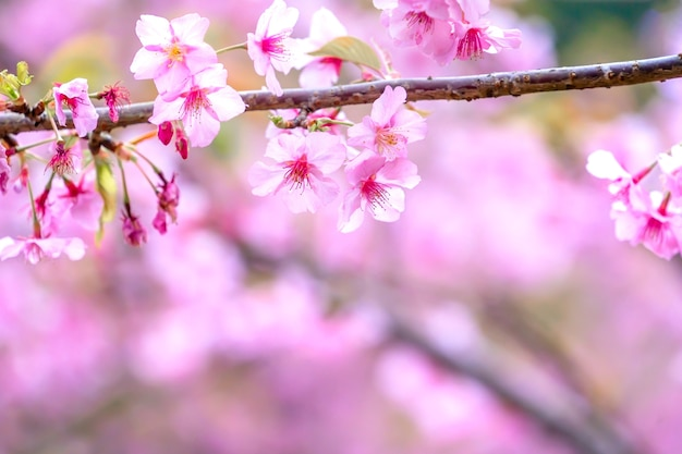 정원, 복사 공간, 가까이 봄에 아름 다운 벚꽃 사쿠라 나무 꽃.