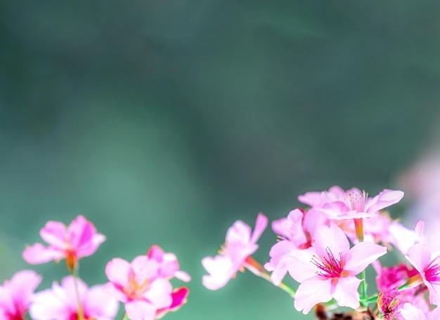 Красивое цветение вишни сакуры цветет весной над садом, копией пространства, крупным планом.