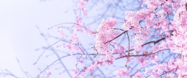 봄에 피는 아름다운 벚꽃 벚꽃 나무