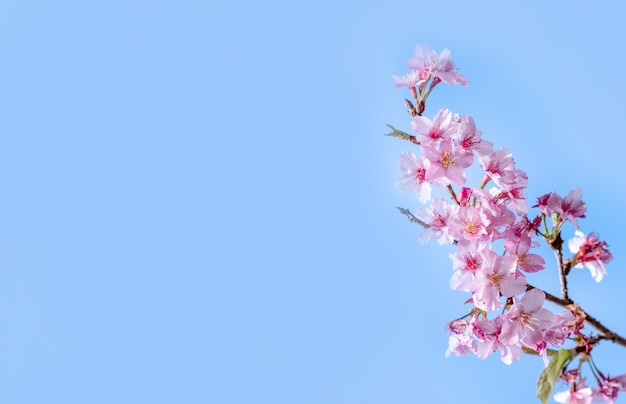 Beautiful cherry blossoms sakura tree bloom in spring over the blue sky, copy space