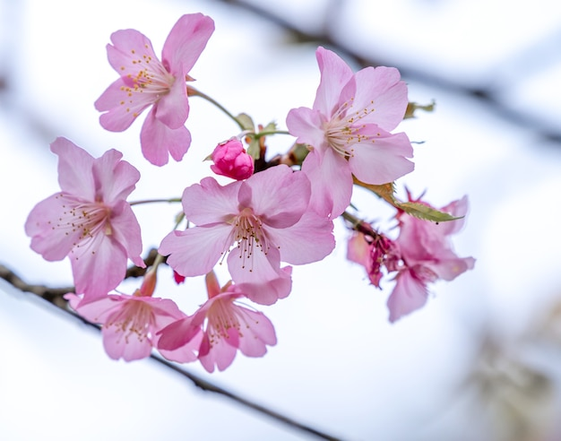 Beautiful cherry blossoms sakura tree bloom in spring in the park, copy space, close up.
