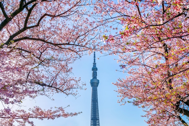 Beautiful cherry blossoms and tokyo sky tree in spring at tokyo, japan.