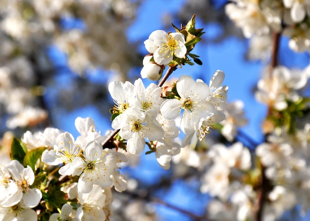 Beautiful cherry flowers in the home spring garden.
