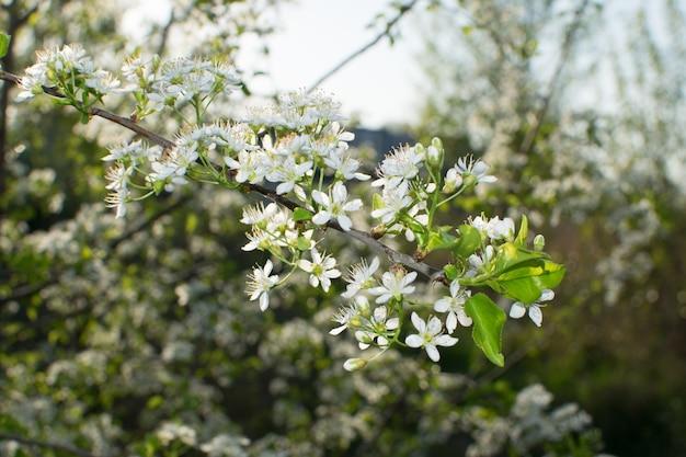Красивые цветы вишни в весеннем саду. белые плоды цветут в парке