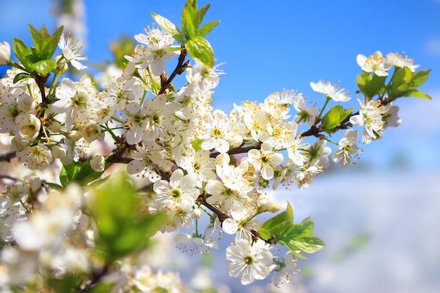 봄 날에 꽃의 아름다운 벚꽃 나무 가지