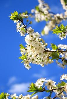 봄에는 꽃의 아름다운 벚꽃 나무 가지