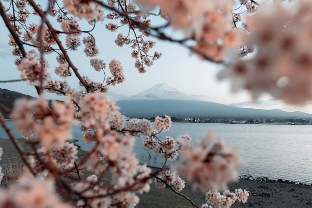 Beautiful cherry tree with flowers