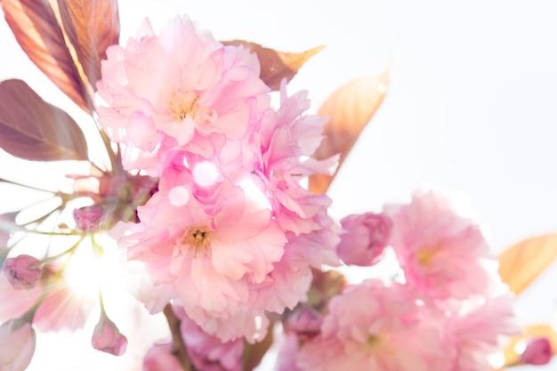 Bella ciliegia