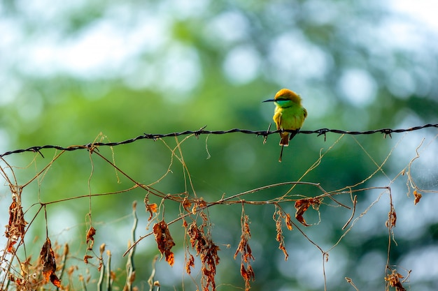 Beautiful chestnut headed bee-eater on the iron string