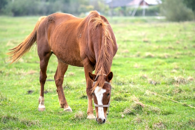Красивая лошадь каштана, пасущаяся в зеленом поле лета лугопастбищных угодий.