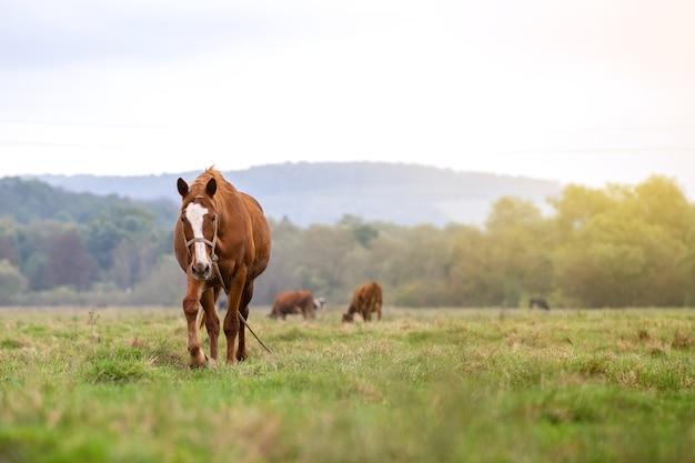 夏の野原で放牧されている美しい栗の馬。農場の種馬に餌をやる緑の牧草地。