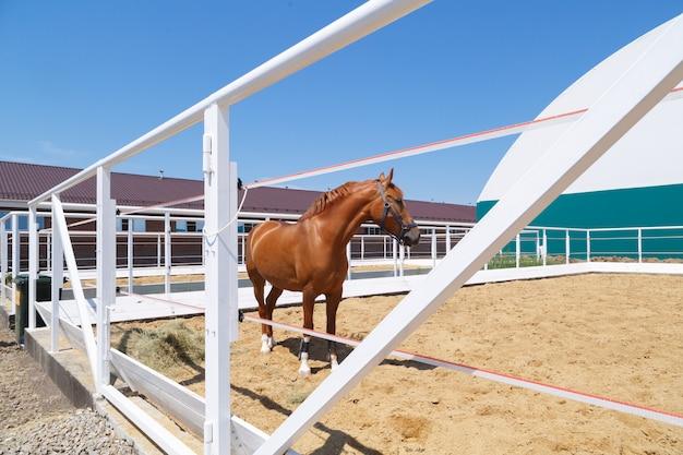 Красивая каштановая лошадь, стоящая в белом загоне