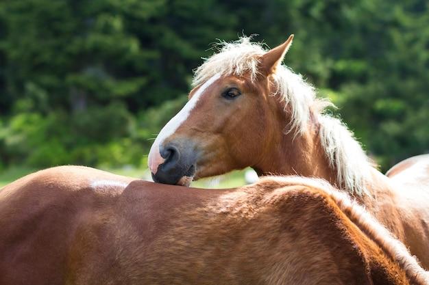 白い縞と長いたてがみを持つ美しい栗の馬は、ぼやけた緑の木々の日当たりの良い夏の牧草地に戻って別の馬にもたれてカメラを見てください。知性と忠誠心の概念。