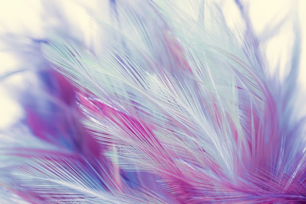 Beautiful chicken feathers in soft and blur style background