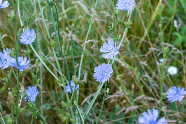 焦点の合っていないフィールドの背景に美しいチコリの花。セレクティブフォーカス