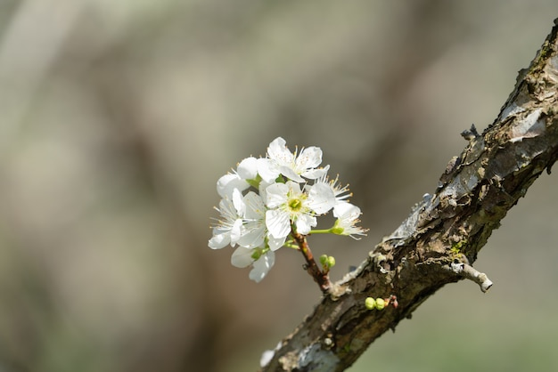 Красивая китайская восточная слива, цветущая в белый цвет весной на фоне дерева.