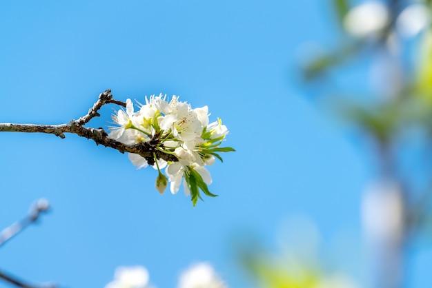 아름 다운 중국 동양 매화 나무 표면에 봄 날에 흰색으로 피는.