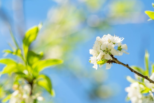 Beautiful chinese plum blooming in white color in springtime on the tree