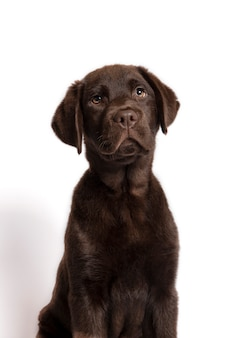 Beautiful chocolate colored labrador puppy sitting looking towards camera on white background.