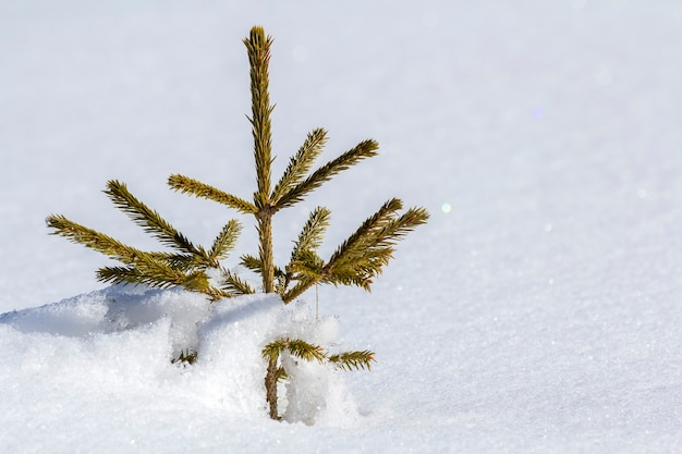 Beautiful christmas winter landscape. small young green tender fir tree spruce growing alone in deep snow on mountain slope on cold sunny frosty day on clear bright white copy space wall.