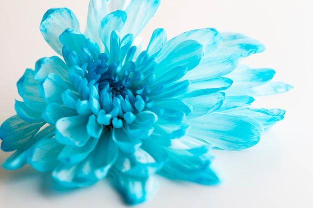 Beautiful chrysanthemum flower close-up