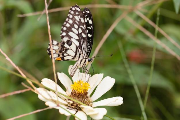 Beautiful chrysanthemum flower garden and beautiful butterfly sucking nectar from pollen