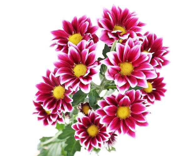 白地に美しい菊の花