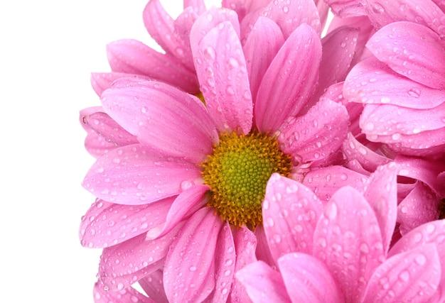 白に分離された美しい菊