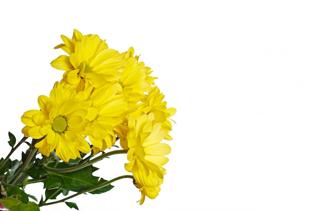 Beautiful chrysanthemum isolated on white