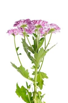 Beautiful chrysanthemum isolated on white