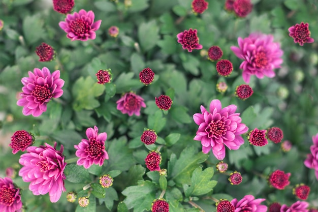 The beautiful of chrysanthemum. pink color
