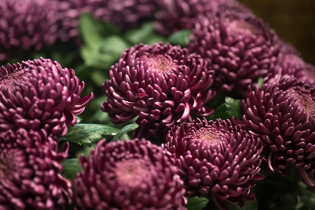 Beautiful chrysanthemums closeup