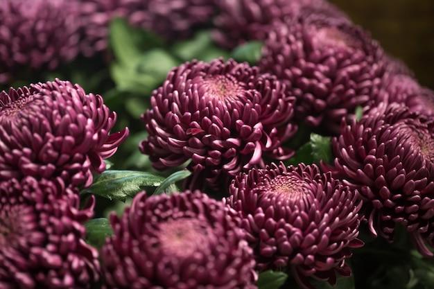 Красивые хризантемы крупным планом