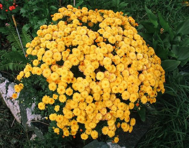 Красивые хризантемы в саду. хризантема обои. японский стиль. осенний сад хризантем.