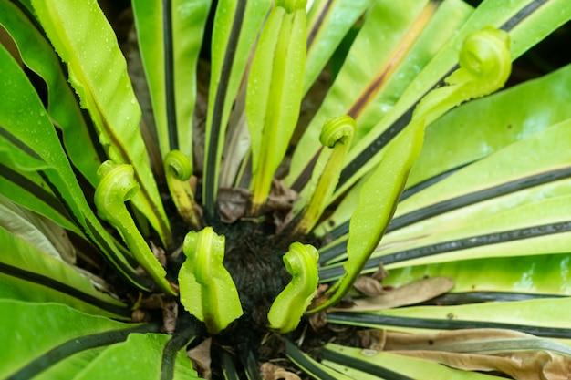 Beautiful circle bird's nest fern leave close up, water drops on fern