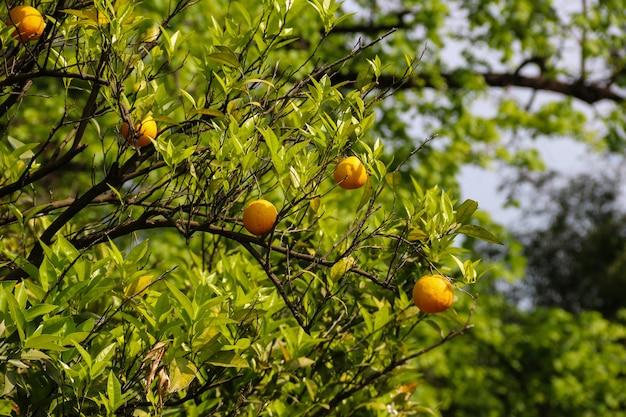熟した果実のクローズアップと美しい柑橘類の木