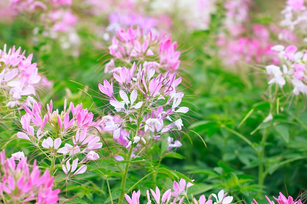 Beautiful cleome spinosa or spider flower in the garden Premium Photo