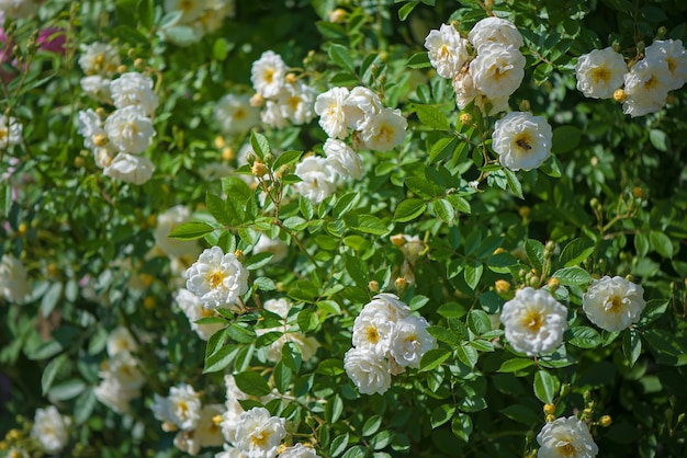 Красивые плетистые розы весной в саду.