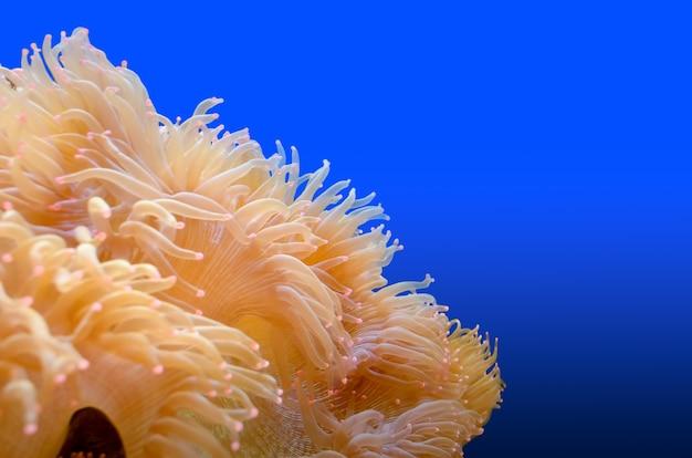 해양 생물의 아름다운 클로즈업은 부채 모양의 분홍색 팁이 있는 흰색 아네모네, 산호초를 따라 자라는 바다 식물, 복사 공간 및 파란색 배경에 격리되어 있습니다.