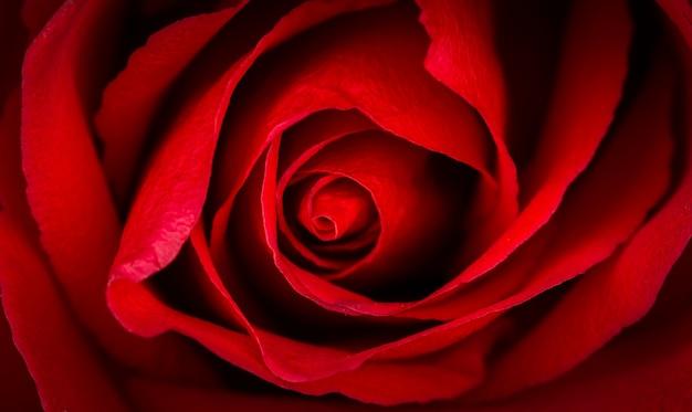 赤いバラの美しいクローズアップ