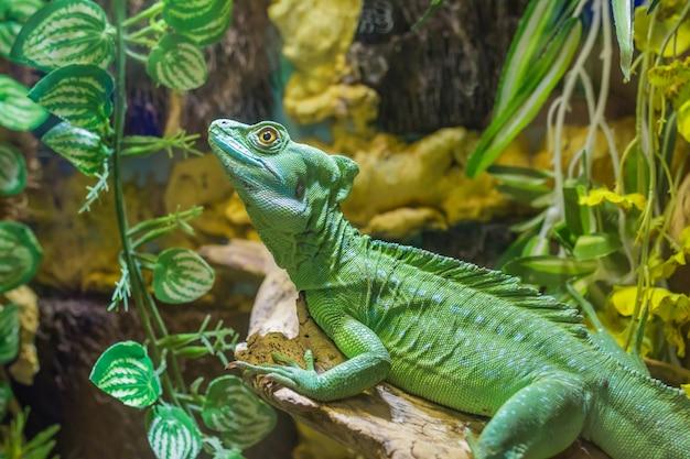 緑のトカゲの美しいクローズアップ写真グリーンバシリスク