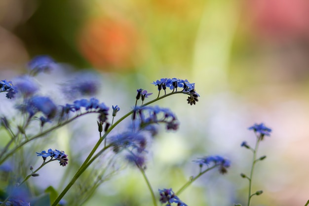 Beautiful close-up picture of tender wild spring and summer flowers blue flowers forget-me-nots lavishly blooming on blurred colorful bokeh garden or field. beauty of nature concept.