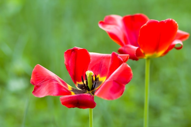 Beautiful close-up picture of wonderful bright red spring flowers tulips on high stems lavishly blooming on blurred green bokeh background in garden or field. beauty and protection of nature concept.